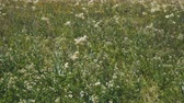 fiori di campo : White meadow flower yarrow on natural background. Summer meadow with white flowers