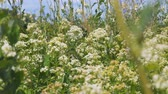 花序 : White meadow flower yarrow on natural background. Selective focus 動画素材
