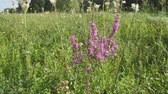 花序 : Pink meadow flower. Lythrum salicaria, spiked loosestrife, purple loosestrife, or purple lythrum