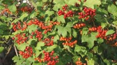 rose garden : Red berries of viburnum on a Bush Stock Footage