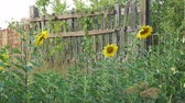 flower bed : Flowers blooming sunflowers near a wooden fence Stock Footage