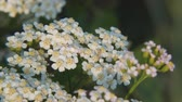 homeopatia : White meadow flower yarrow on natural background. Close up Vídeos