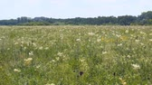 homeopatia : Summer meadow with white flowers. White meadow flower yarrow. In the distance see the forest. Camera panning