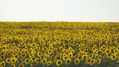 helianthus : Yellow field of flowers of sunflowers against a light, almost white sky