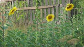 flower bed : Flowers blooming sunflowers near a wooden fence. Camera panning Stock Footage