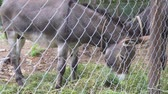 rancho : Two donkeys in the aviary eating fresh hay Stock Footage