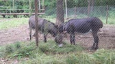 осел : Two donkeys in the aviary eating fresh hay Стоковые видеозаписи