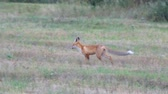 besta : Wild Fox in the clearing. Soft focus