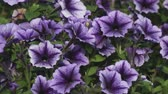 пышный : Purple Petunia flowers in the garden. Selective focus.