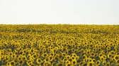 helianthus : Yellow field of flowers of sunflowers against a light, almost white sky. Camera panning