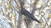 kismadár : Jackdaw sitting on a birch branch among the yellow autumn leaves