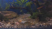 bream : Freshwater wild fish, the gudgeon (Gobio gobio) and small bream in clear aquarium water. Selective focus Stock Footage