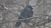 kismadár : A black jackdaw bird sits on the branches of a birch tree in the cold autumn