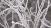 gałązka : White Hoarfrost on the thin twigs of a Bush in cloudy, foggy weather