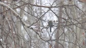 küçük kuş : A small titmouse on the branches of a birch tree under the falling snow Stok Video