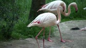 subtropics : Flamingos searching for food