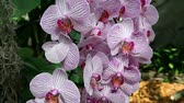 атрибут : Close up of a beautiful pink orchids blossom
