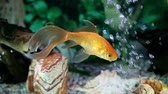 profesionál : a colorful fish enjoying in the specially decorated aquarium