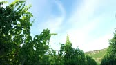 leaves : Crane shot of the sceneric wineyard with amazing landscape in the backgrounds Stock Footage