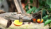 borboleta : Nice close shot of an exotic butterfly feeding on a slice of orange