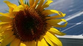 opłatek : Beautiful sunflower with solar power station in the back Wideo