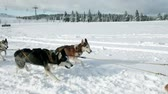winter : several huskies that pull sled in the beautiful winter time