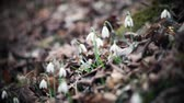 kar taneciği : Focus is on snowdrops