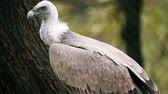 гриф : Vulture in zoo looking