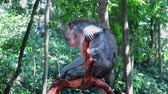 indonesia : Monkey shaking and scratching while sitting on tree branch Stock Footage