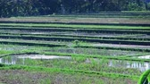 krajina : Beautiful video of rice fields in Bali, Indonesia