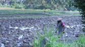 handheld : BALI, INDONESIA - JULY 2014: Farmer on a muddy rice field. Handheld shot of Bali rice field and local farmer working.
