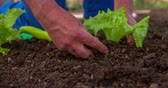 arruela : A senior man is gardening and he is inserting a lettuce seedling into a soil. Then he is tapping the soil around it. Close-up shot. Vídeos