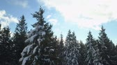 resort : Beautiful spruce trees are covered with snow. Its a nice day.