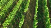 demônio : A huge green vineyard is situated in the middle of nature. Its summer time and the sun is shining.