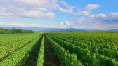 demônio : A beautiful summer day and a gorgeous green vineyard. The countryside in Slovenia is outstanding. Stock Footage