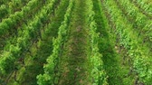 demônio : A beautiful and green vineyard in the countyrside. The day is wonderful and sunny. Its summer time. Stock Footage