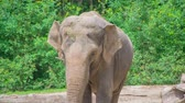 young elephants : A beautiful elephant in the zoo. Its a nice summer day outside and visitors are watching the animals. Stock Footage