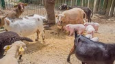 young elephants : Baby goats and piglets in a big cage. A zoo keeper is taking care of them and is giving them food.