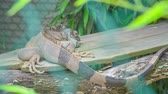 young elephants : A big lizard is not moving when it is standing on a board in its cage in a zoo.