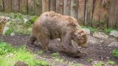 hyäne : A brown bear is walking around in its cage in a zoo and visitors are watching and admiring it. Stock Footage