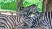tavuskuşu : Zebras are eating from a through in a zoo and visitors are watching them. They look lovely.