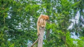 hyäne : An orange monkey with very long arms in sitting on the top of a branch and it is looking down and observing the visitors.