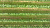 The rows in an apple orchard are very organized. Everything is green and growing. Its summer time. Heli shot.