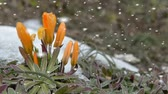 blooming : Colourful cluster of pretty orange spring flowers in winter snow with falling snowflakes drifting to the ground showing the transition from winter to spring