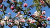 floral : Bright white and pink buds and flowers on the tree against the bright blue sky. Spring mood, blooming apple tree.