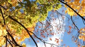 пышный : Golden autumn, autumn forest. Maple tree with yellow and orange leaves in the wind in a sunny park.