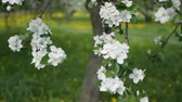 pesco : Apple blossoms, sunny day. Spring mood. Flowering tree in a park in spring. Filmati Stock