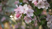 brzoskwinia : Spring, a sunny day, a flourishing garden. White-pink flowers on an apple tree at the time of flowering. Spring mood.