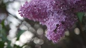 hue : Lilac in a spring park. Blooming lilac with lush and beautiful flowers on the background of the city street.
