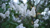 leylak : Lilac in a spring park - a branch of lilac in the rays of the setting sun. Spring mood.